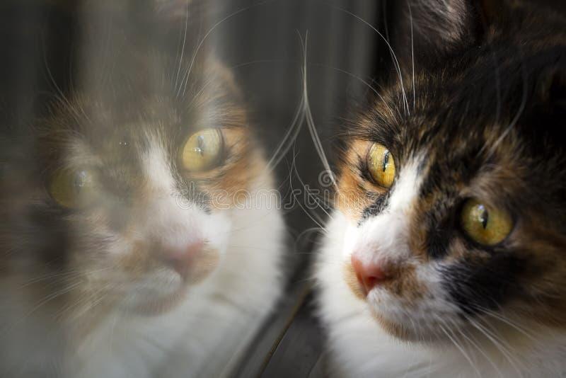 ?lsklings- djur; gullig katt inomhus Kalik?katt arkivfoto