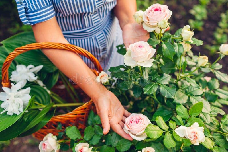 ?ltere Frau, die Blumen im Garten erfasst Frauenholdingrosa von mittlerem Alter stieg in Hände Im Garten arbeitenkonzept stockfoto