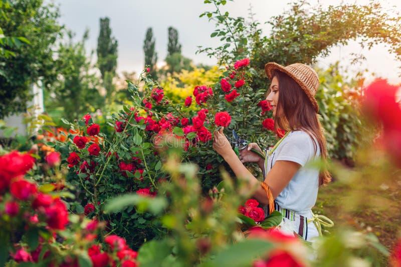 ?ltere Frau, die Blumen im Garten erfasst Frau von mittlerem Alter, die Rosen riecht und abschneidet Im Garten arbeitenkonzept stockfoto