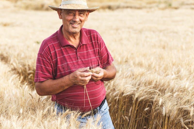 ?ltere Landwirtstellung in einer Untersuchungsernte des Weizenfeldes lizenzfreies stockfoto
