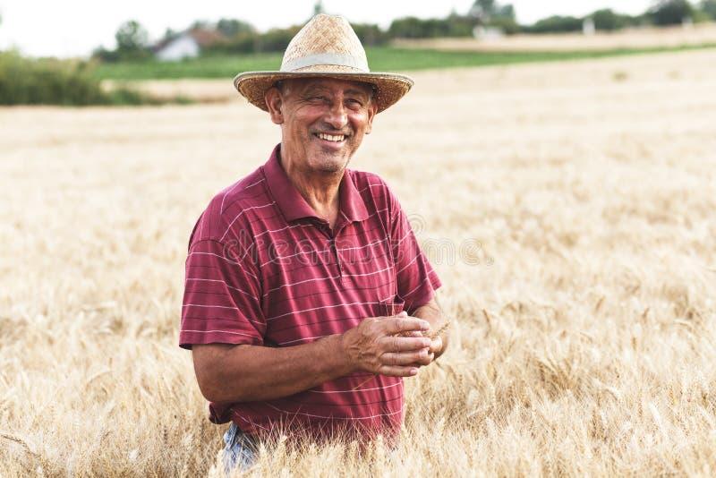 ?ltere Landwirtstellung in einer Untersuchungsernte des Weizenfeldes stockfotografie