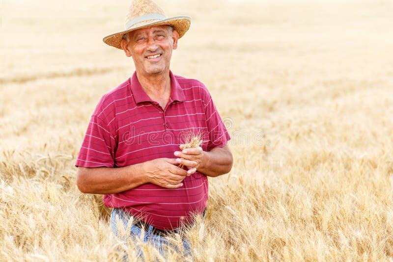 ?ltere Landwirtstellung in einer Untersuchungsernte des Weizenfeldes stockfotos