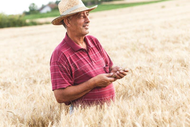 ?ltere Landwirtstellung in einer Untersuchungsernte des Weizenfeldes stockfoto