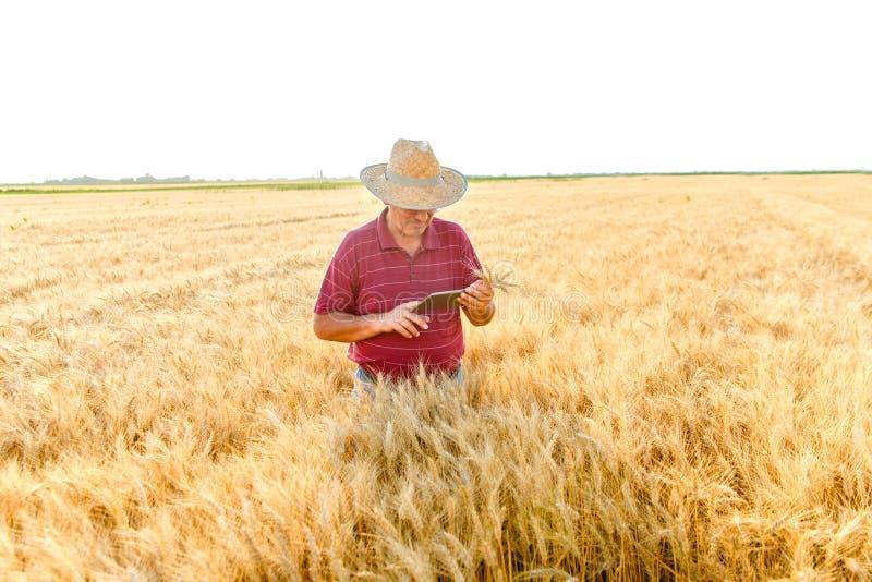 ?ltere Landwirtstellung in einer Untersuchungsernte des Weizenfeldes und Betrachten der Tablette lizenzfreie stockbilder
