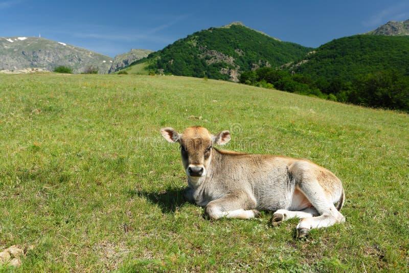 Lttle calf in farmland