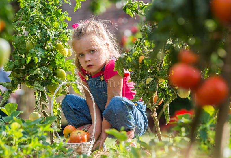 Lttle-Mädchen, das Erntetomaten im Garten sammelt lizenzfreie stockfotos