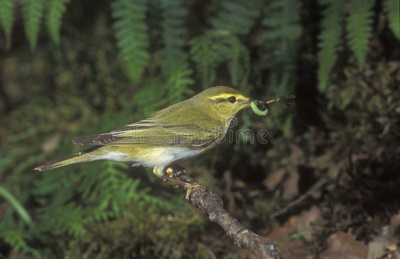 Luì verde, sibilatrix del Phylloscopus fotografie stock libere da diritti