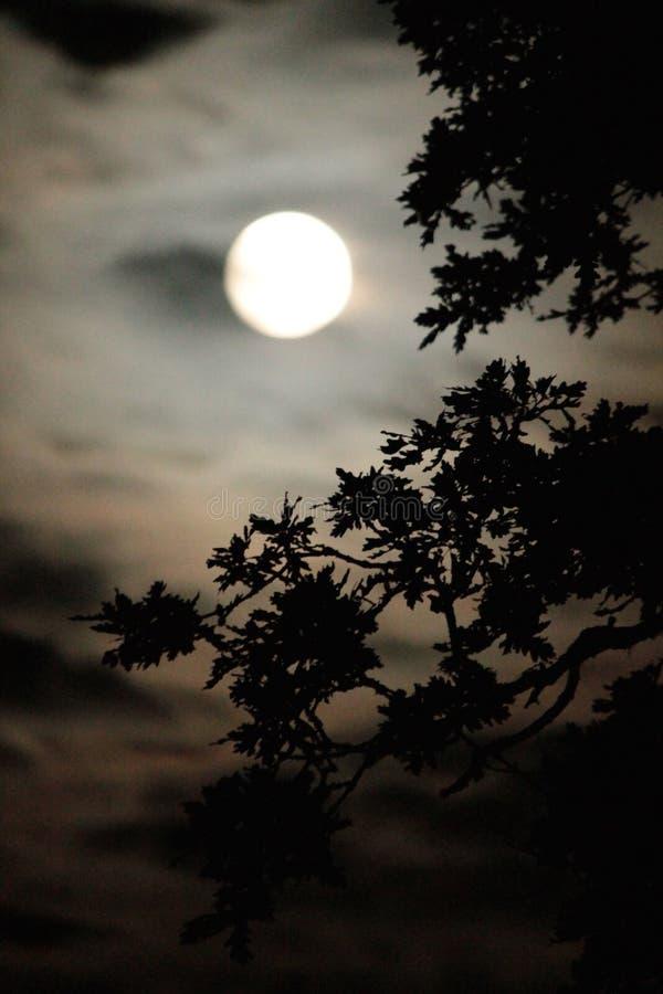 Lua borrada com carvalho mostrado em silhueta imagem de stock royalty free