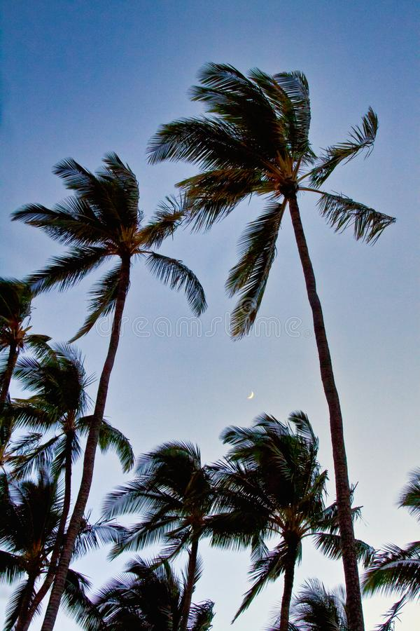 Lua cresent muito pequena que ajusta-se entre diversas palmeiras no nivelamento eraly fotos de stock royalty free