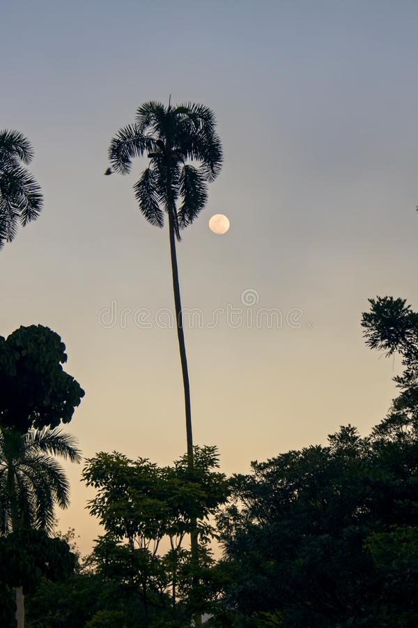 A lua e a silhueta de uma palmeira foto de stock