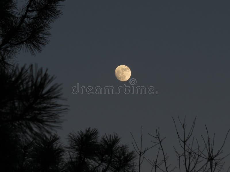 A lua no foco quadro por silhuetas de ramos de pinheiro no crepúsculo imagem de stock royalty free
