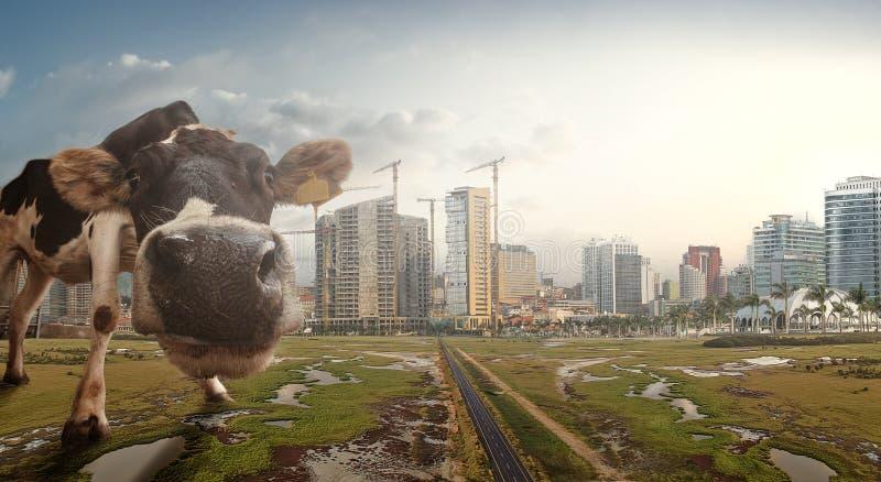 LUANDA/ANGOLA 4 de julio de 2017 - compuesto de una vaca con la ciudad de imagen de archivo