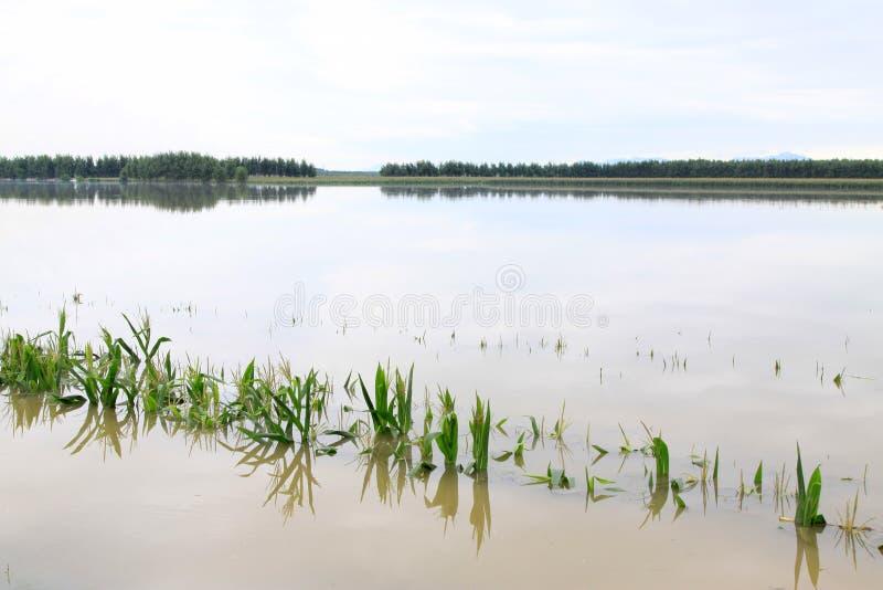 Milho nas águas da inundação, Luannan, Hebei, China. fotografia de stock