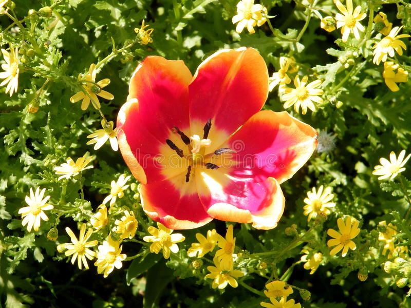 Lub Yehuda pomarańczowy tulipanowy kwiat 2011 zdjęcie royalty free
