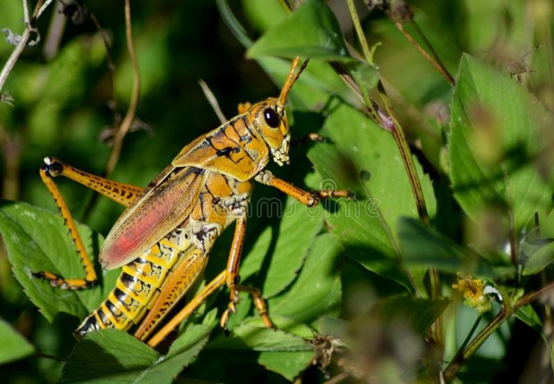 Lubber grasshopper on the prowl. Lubber grasshoppers are bright and colorful to alert potential predators to it`s awful noxious taste. it has few predators, and royalty free stock photo