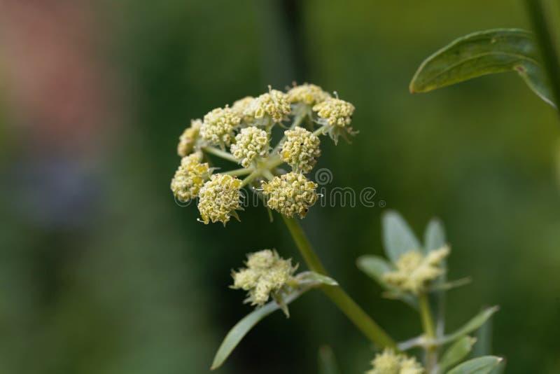 Lubczykowi kwiaty, Levisticum officinale obrazy royalty free