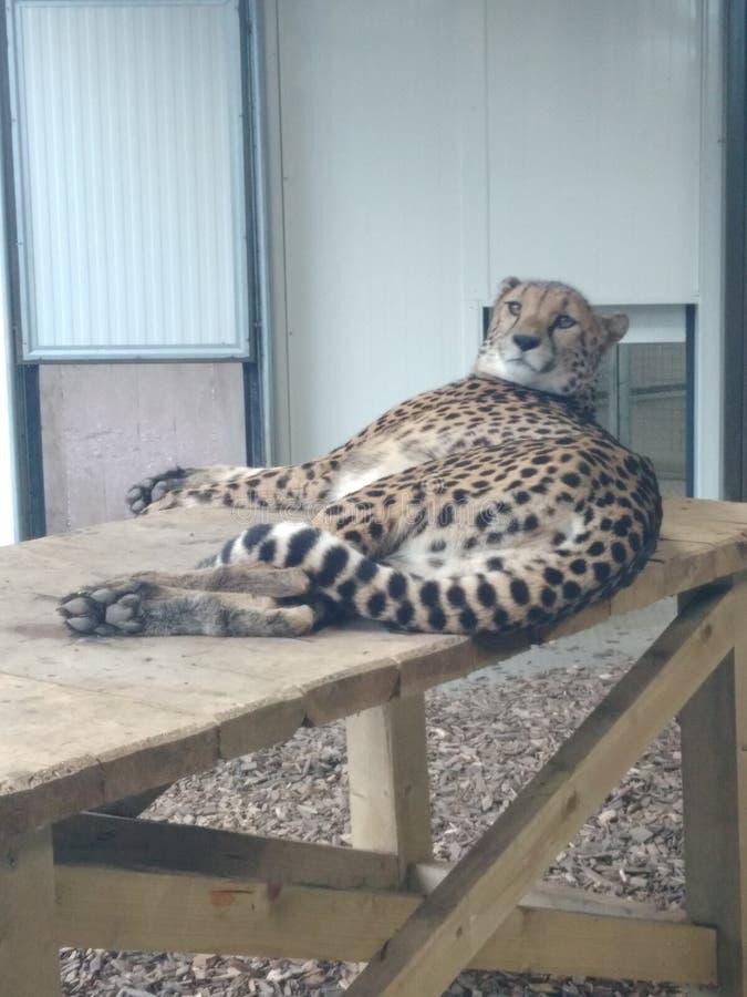 Lubjana puma från zoo royaltyfri fotografi