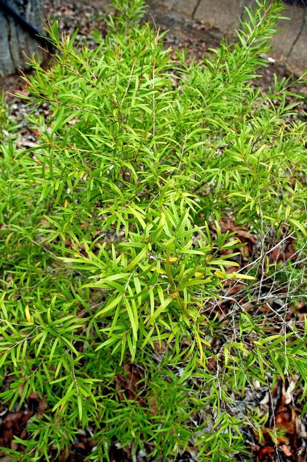 Lucadendron Di Maleuca Immagine Stock