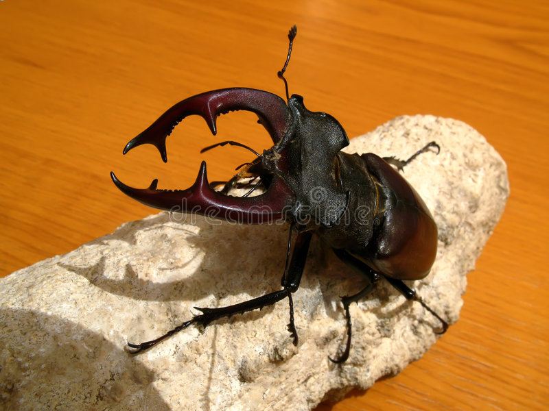 Lucanus cervus. Is the best-known species of stag beetle (family Lucanidae), and is sometimes referred to simply as the stag beetle stock photos