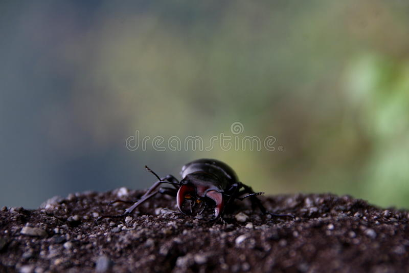 Download Lucanus cervus stock photo. Image of collection, life - 83704870