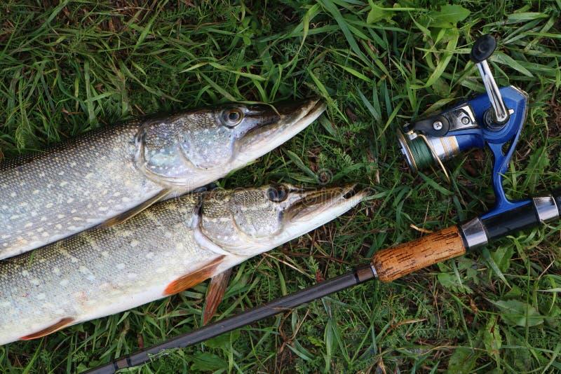 Luccio del fermo di pesca sull'erba fotografia stock libera da diritti