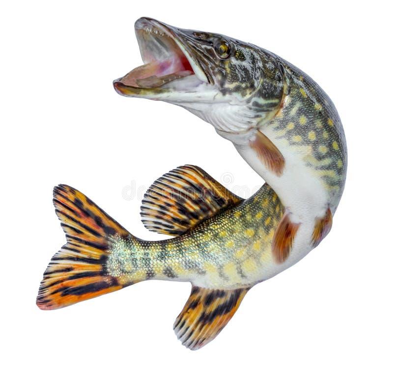 Luccio del pesce Saltando dell'acqua Emblema isolato su un fondo bianco fotografia stock libera da diritti