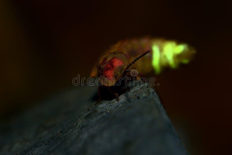 Lucciola - femmina nella notte, mezzanotte del noctiluca di Lampyris in Croazia, maschi attiranti fotografia stock