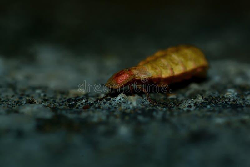 Lucciola - noctiluca di Lampyris immagini stock