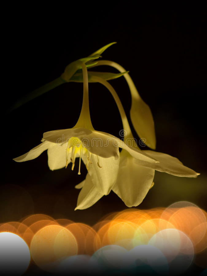 Lucciole e fiore alla notte fotografia stock libera da diritti
