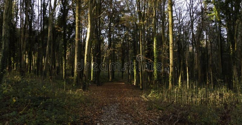 Luce attraverso gli alberi durante il tramonto immagine stock