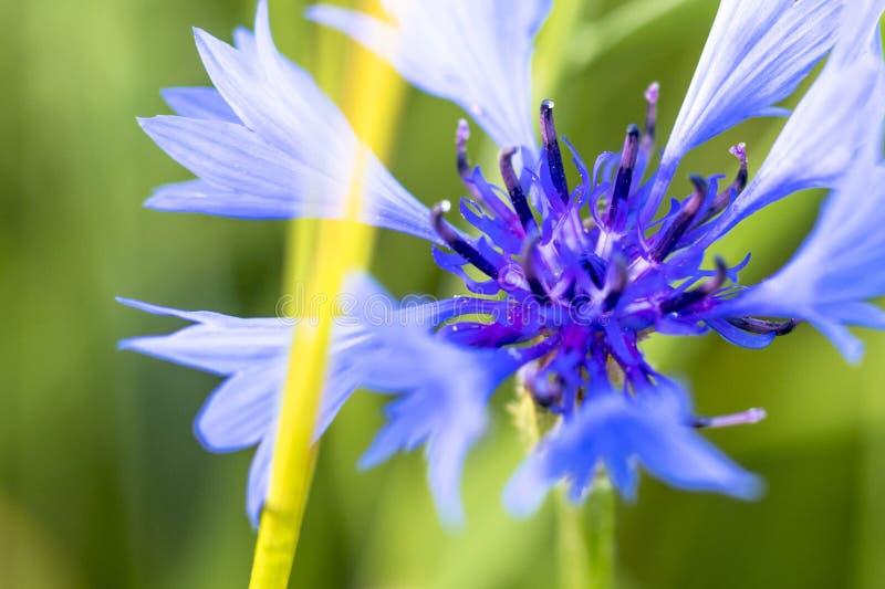 Luce del giorno fiordaliso del wildflower Macro abbia tonalità, giardino fotografia stock libera da diritti