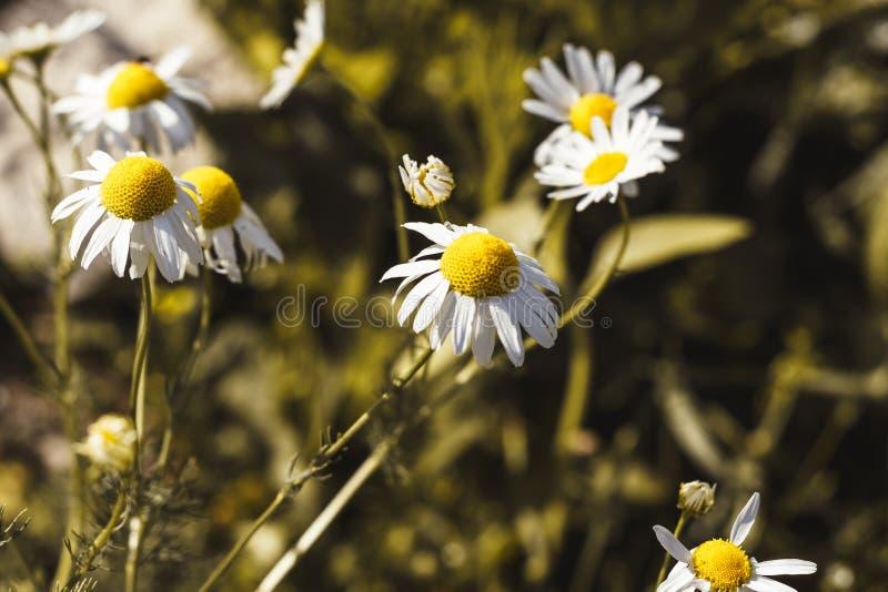 Luce del giorno il campo della camomilla ha tonalità Piccola profondit? di campo fotografia stock