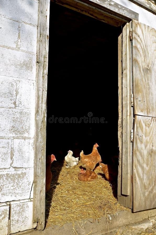 Luce del sole del fermo dei polli attraverso la entrata immagini stock