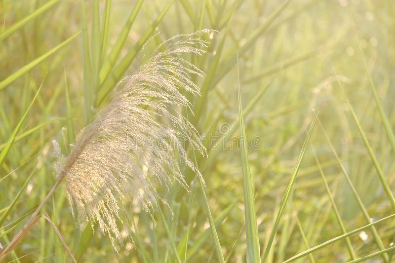 Luce del sole della siluetta con il fiore del fiore dell'erba selvatica in un campo ed in un fondo verde della natura fotografie stock libere da diritti