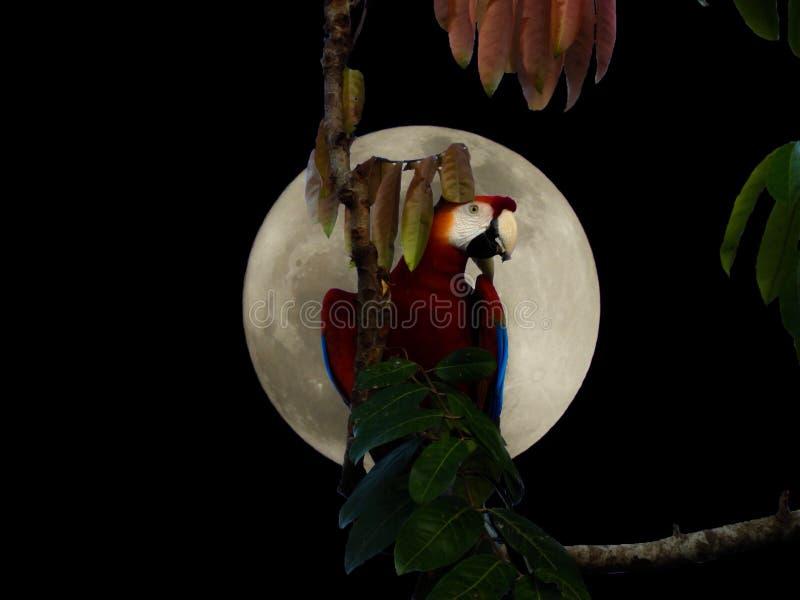 Luce della luna Arara fotografia stock libera da diritti