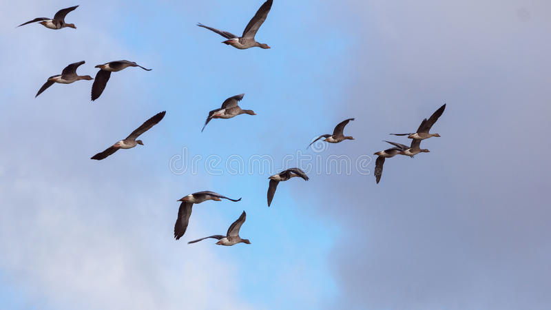 Luce delle oche selvatiche di volo di mattina immagine stock