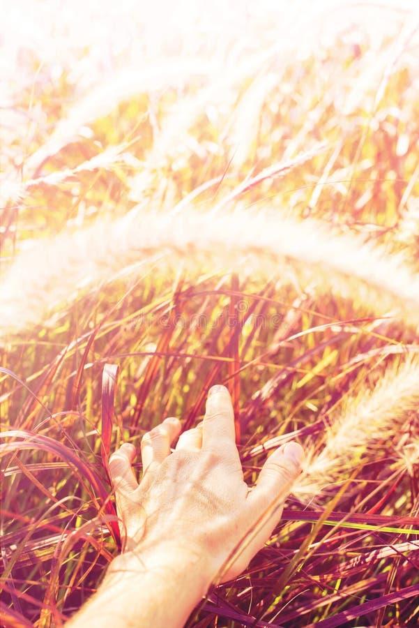 Luce di mattina della natura di tocco della mano attraverso erba delicata fotografie stock libere da diritti