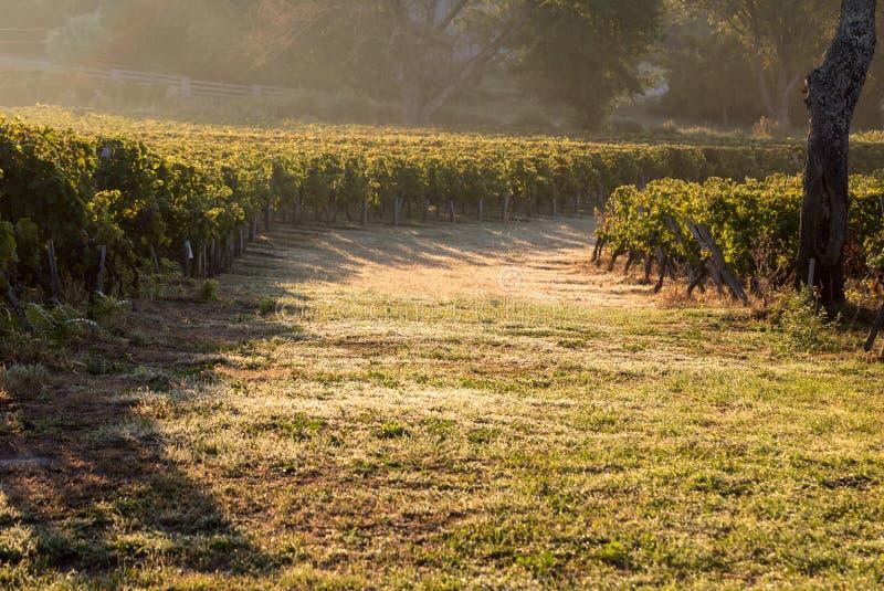 Luce di mattina nelle vigne del san Georges de Montagne vicino a Saint Emilion, Gironda immagine stock