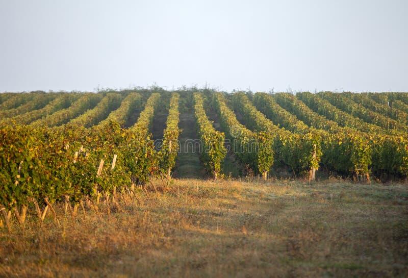 Luce di mattina nelle vigne del san Georges de Montagne vicino a Saint Emilion, Gironda, fotografia stock