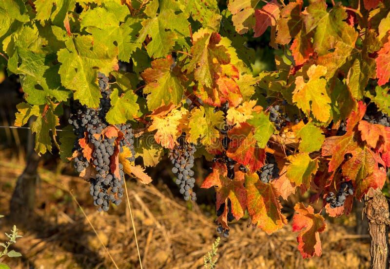 Luce di mattina nelle vigne del san Georges de Montagne vicino a Saint Emilion, Gironda immagini stock libere da diritti