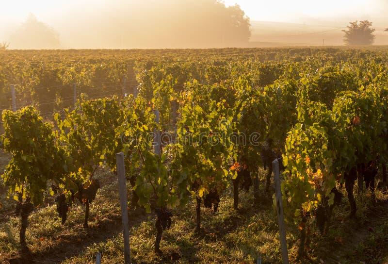 Luce di mattina nelle vigne del san Georges de Montagne vicino a Saint Emilion, Gironda fotografia stock