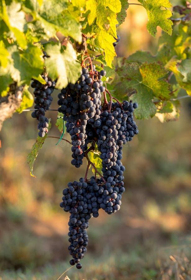 Luce di mattina nelle vigne del san Georges de Montagne vicino a Saint Emilion immagine stock libera da diritti