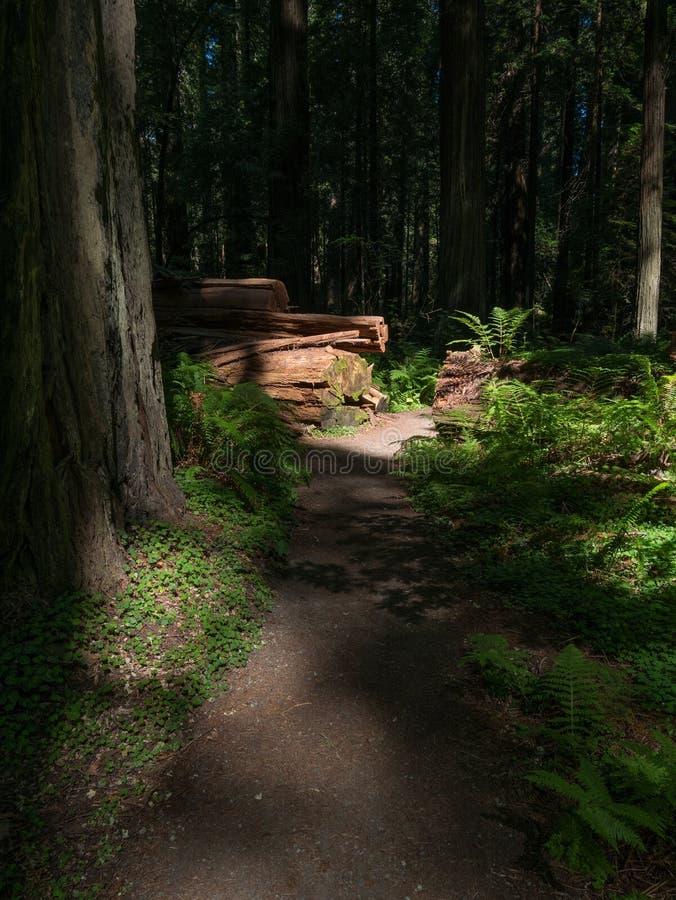 Luce di mattina su una traccia nella foresta della sequoia di California fotografia stock