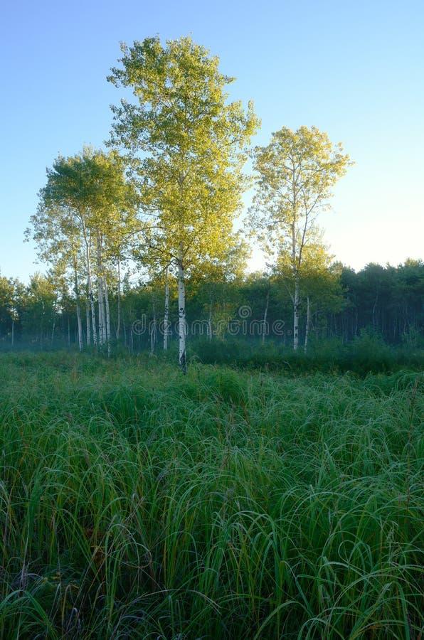 Luce di primo mattino su Aspen Trees in prato immagine stock libera da diritti