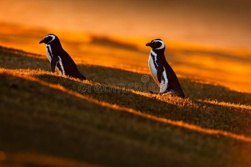 Luce di sera con i pinguini Uccelli con il tramonto arancio Bello pinguino di Magellan con la luce del sole Pinguino con la luce  immagini stock libere da diritti