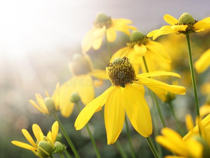 Luce gialla del sole e del fiore immagine stock libera da diritti