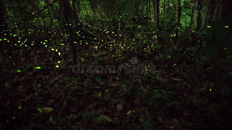 Luce gialla del volo nella foresta di notte, fondo dell'insetto della lucciola di Taiwan immagine stock