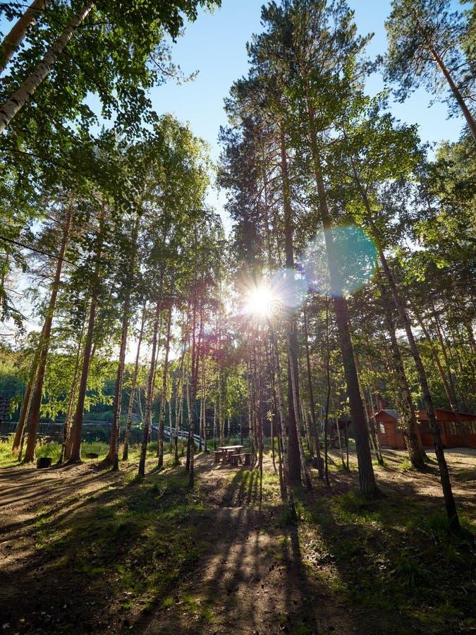 Luce solare attraverso i pini nella foresta di autunno immagini stock libere da diritti