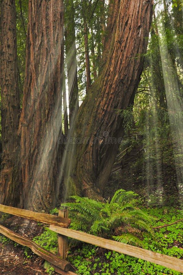 Luce solare attraverso i sempervirens giganti della sequoia dei Redwoods immagini stock