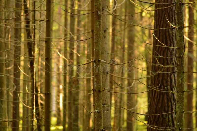 Luce solare della foresta di conifere di mattina ad alba immagine stock libera da diritti